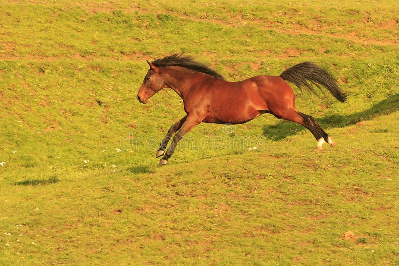 Horse galoping and jumping in a field royalty free stock images