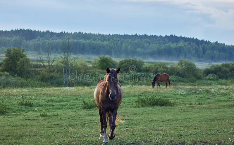 A  horse on the go looking in camera`s direction and another one piecefully grazing meadow grass royalty free stock images