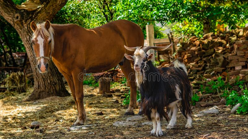 Horse and goat, with big horns looking in directly into the camera. royalty free stock photos