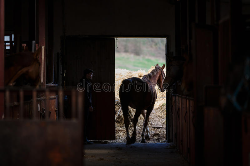 The horse goes for a walk stock photos