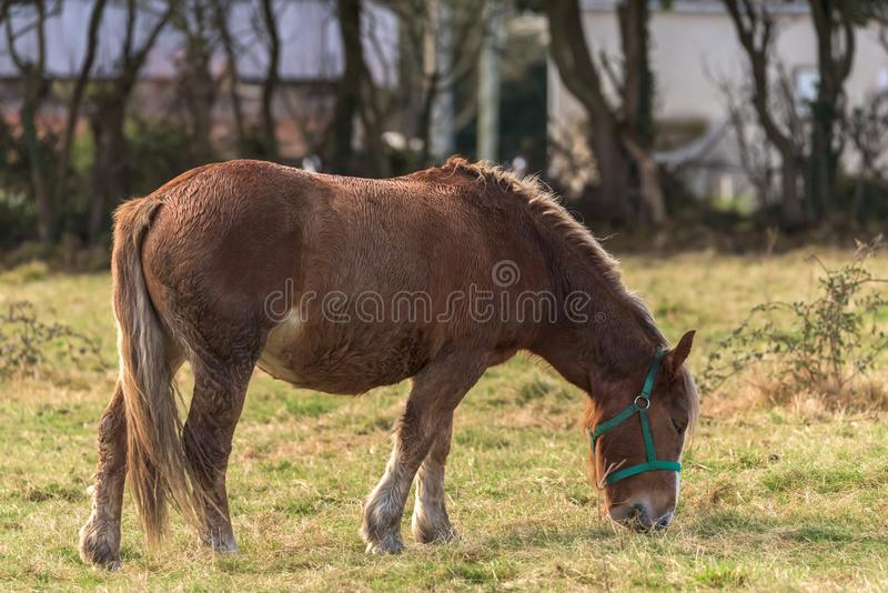A horse grazes. Inside a farm in Asturias,Spain royalty free stock photography