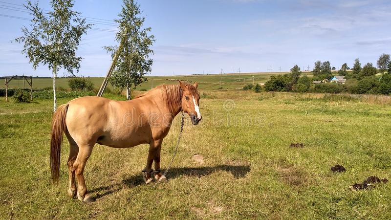 a horse grazes in a meadow stock photography