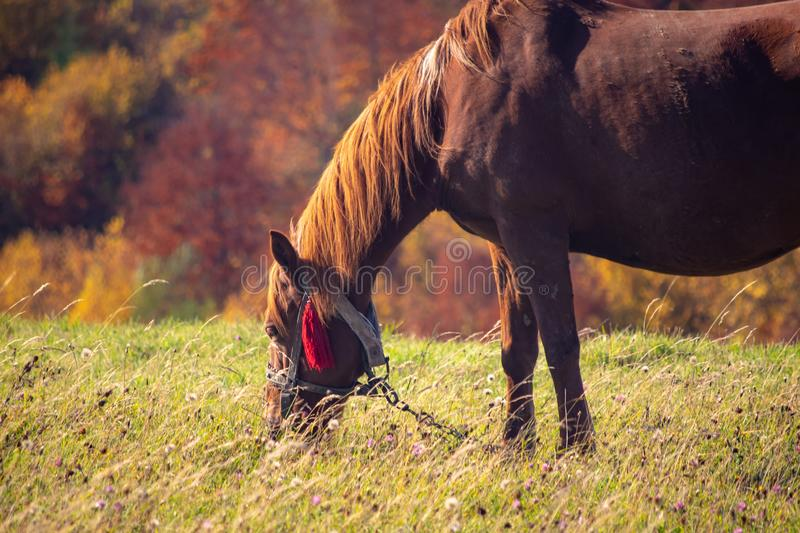 Horse grazes on mountain pasture, Carpathian mountains, Ukraine. At sunny autumn day royalty free stock image