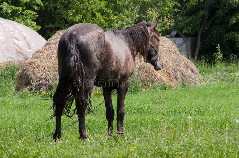 A horse grazes royalty free stock images