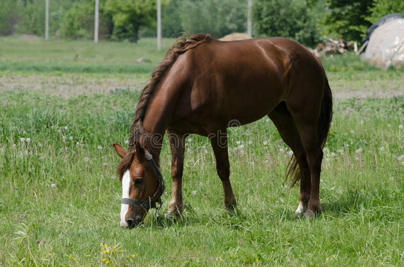 A horse grazes royalty free stock photography