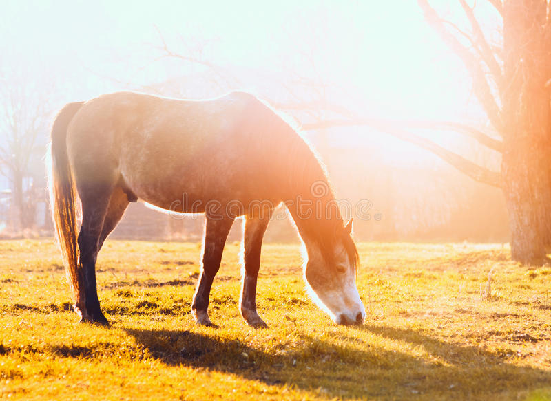 Horse grazes on pasture at sunset stock image