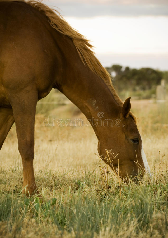 Horse Grazing. Farm horse grazing in late afternoon light royalty free stock photo