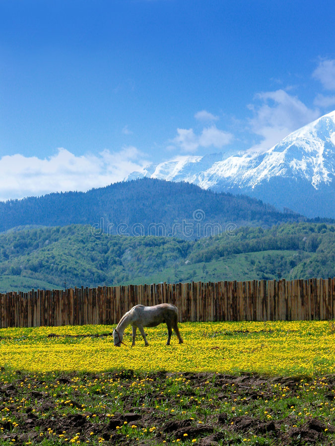 Horse grazing. A white horse grazing in a dandelion field. Mountains in the background. Shot near Rasnov-Bran in Bucegi, Romania stock photos