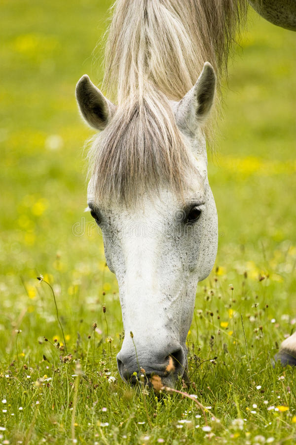 Horse grazing. White beautiful horse is grazing on the green spring field stock photo