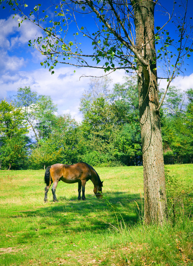 Horse grazing. On a summer pasture near a tree stock photography