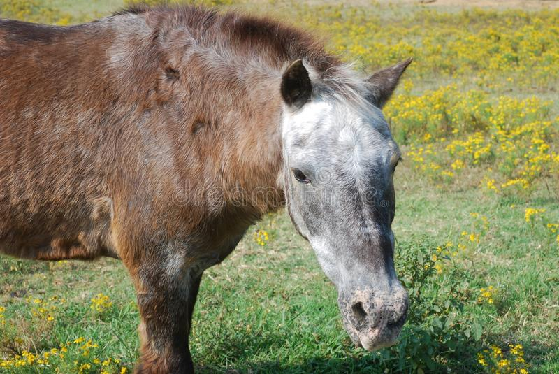 Horse Grazing in Feild of Flowers royalty free stock image