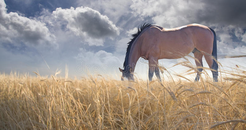 Download Horse grazing in field stock illustration. Illustration of color - 22760275
