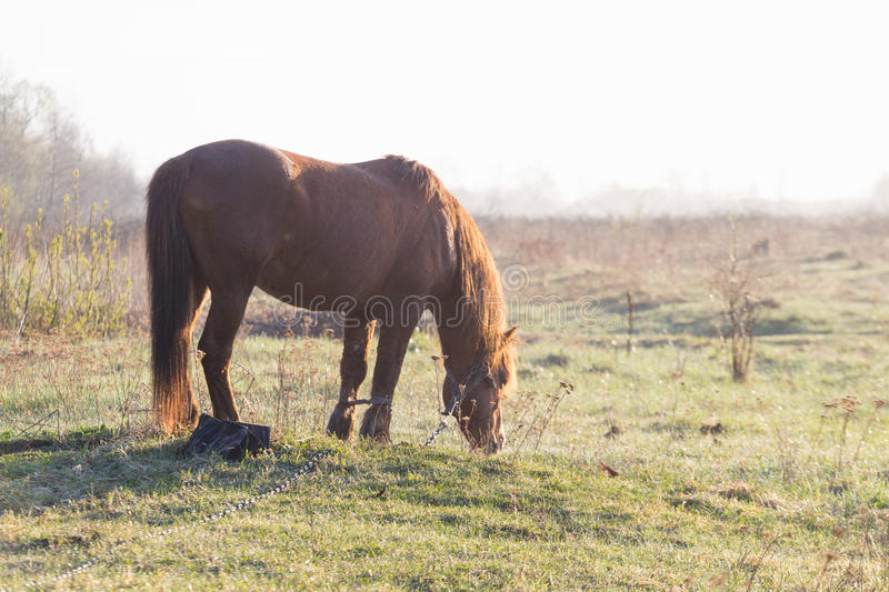The horse is grazing in the fog in the spring.  stock image