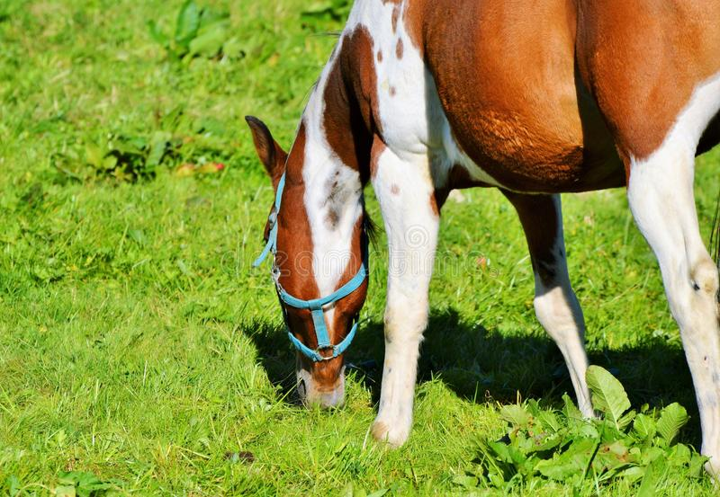 Horse, Grazing, Grass, Pasture stock photo
