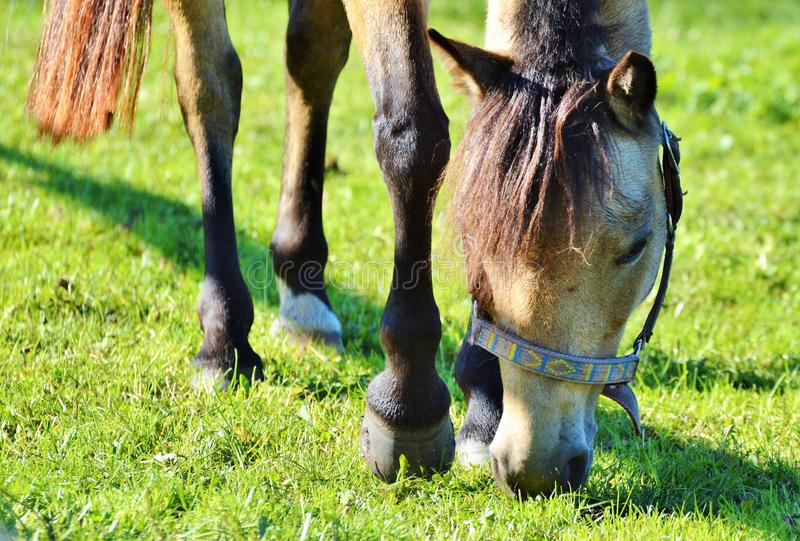 Horse, Grazing, Grass, Pasture royalty free stock images