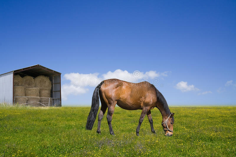 Horse grazing on the green field with a barn. Full of hey bales royalty free stock photo