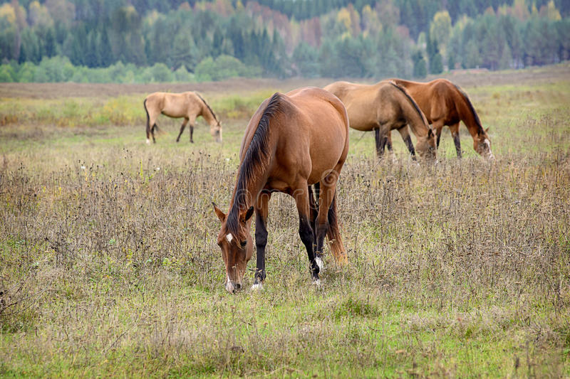 Horse. Grazing in a herd in the open. Fresh grass and water, clean place Kimrsky area royalty free stock photos