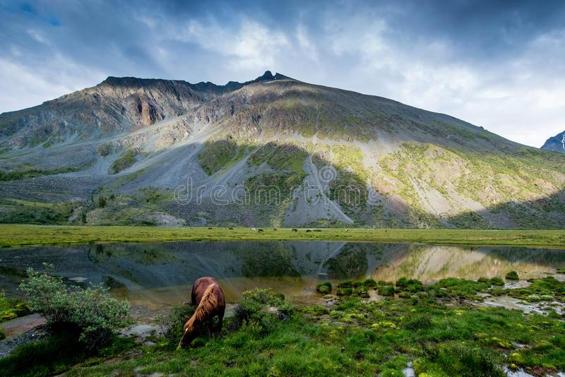 A horse is grazing in the mountains of the Altai royalty free stock photos
