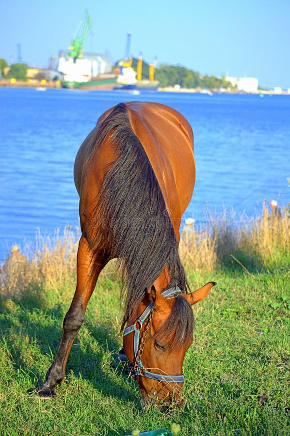 Horse grazing near waterway. Varna lake,Bulgaria stock photography