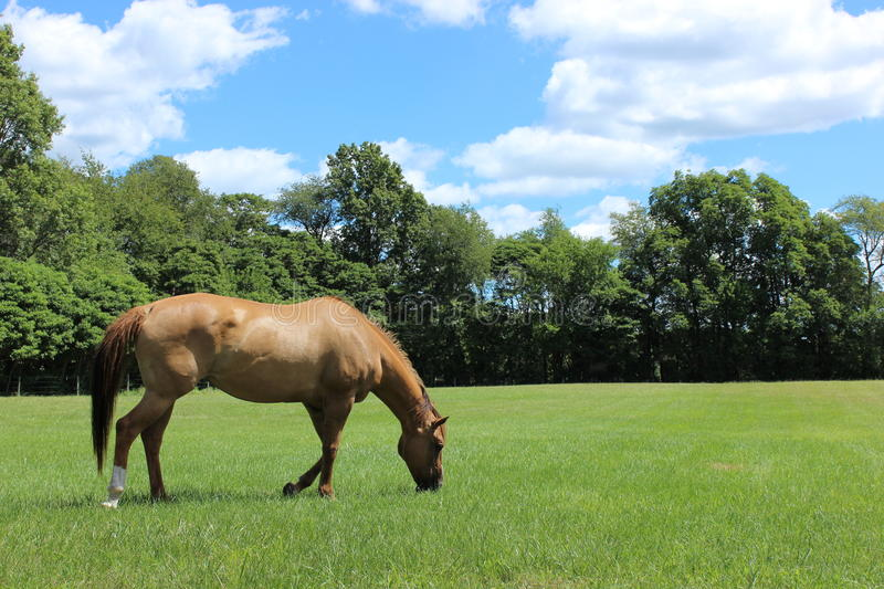 Horse Grazing in the Pasture royalty free stock photo