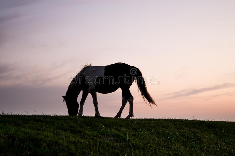 Horse grazing at sunset royalty free stock photography