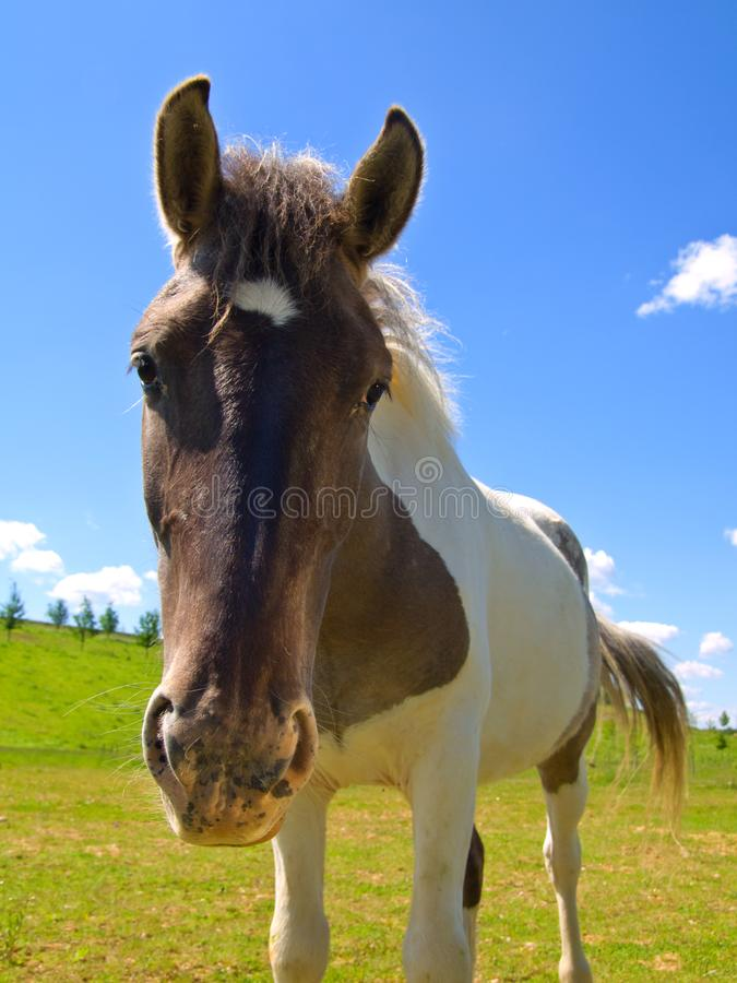 Download Horse  on green field stock image. Image of equestrian - 9709489