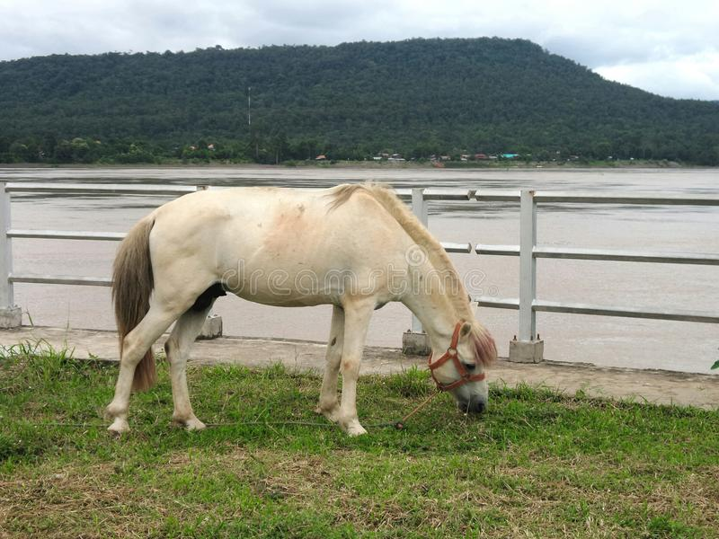 Horse on green field on Khong river bank. Horse eating fresh green grass on Khong river bank , Khongchiam district , Ubolrajthani , Thailand stock image