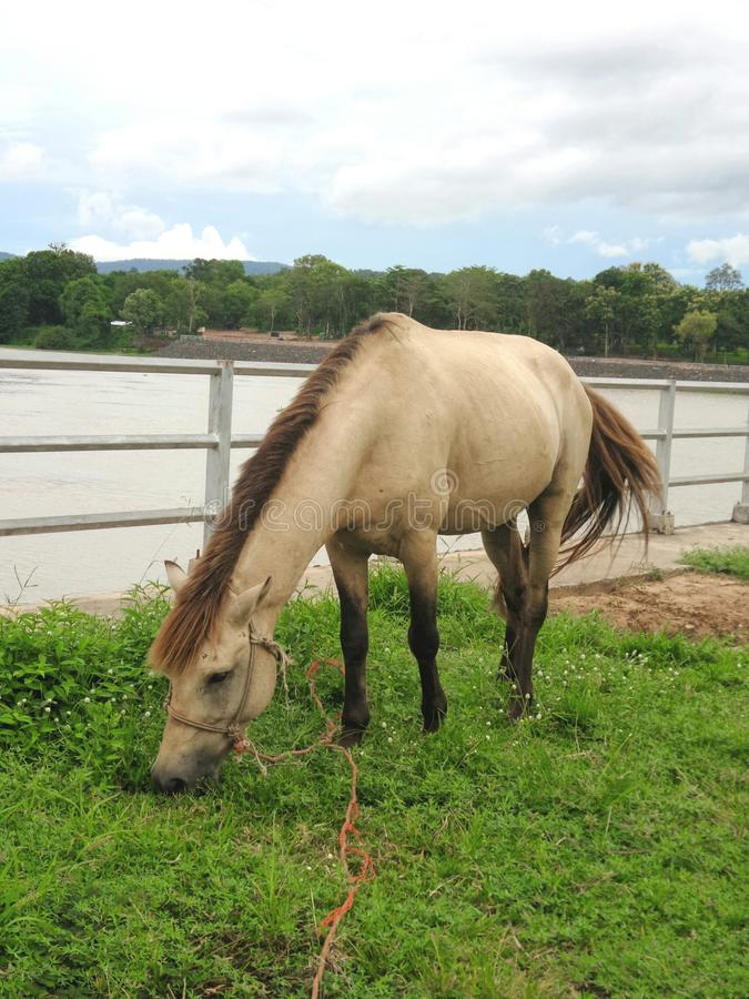 Horse on green field on Khong river bank. Horse eating fresh green grass on Khong river bank , Khongchiam district , Ubolrajthani , Thailand stock photography