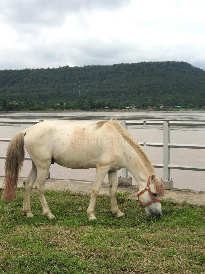 Horse on green field on Khong river bank. Horse eating fresh green grass on Khong river bank , Khongchiam district , Ubolrajthani , Thailand royalty free stock photo