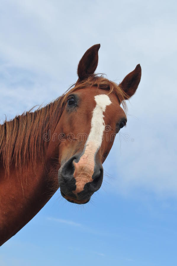 Download Horse head stock image. Image of alert, looking, watching - 15474191