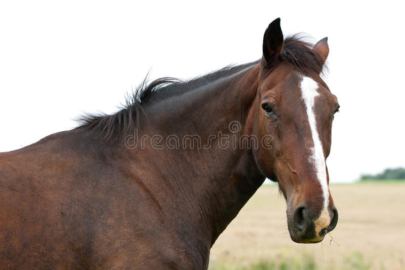 Download Horse head stock photo. Image of domesticated, stallion - 26534886