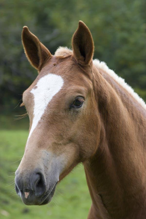 Free Horse Head Stock Image - 5971041