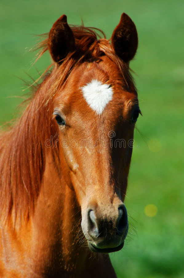 Horse head royalty free stock photo