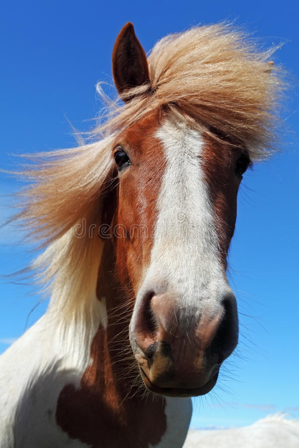 Horse head in Iceland stock image