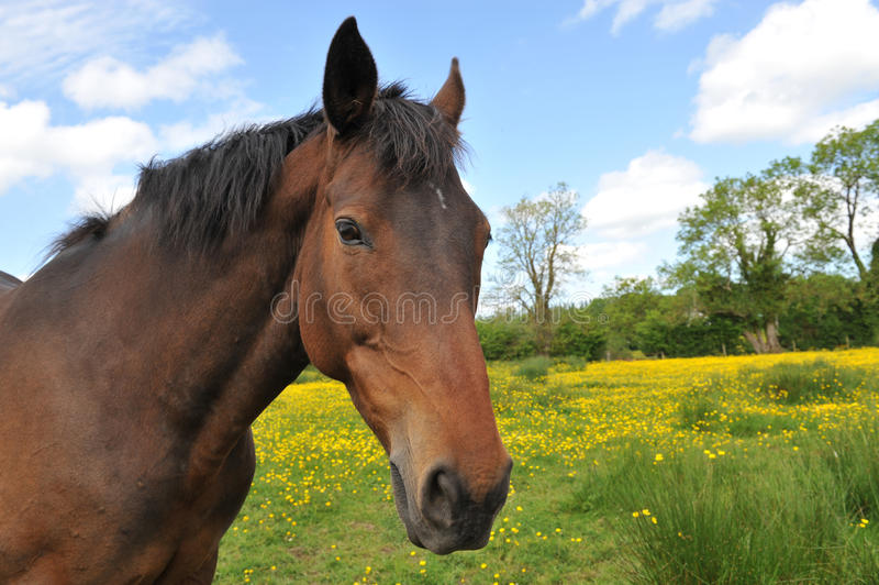 Horse Head Portrait in a summer meadow. Horse head portrait on a lovely summers day in a meadow stock photo