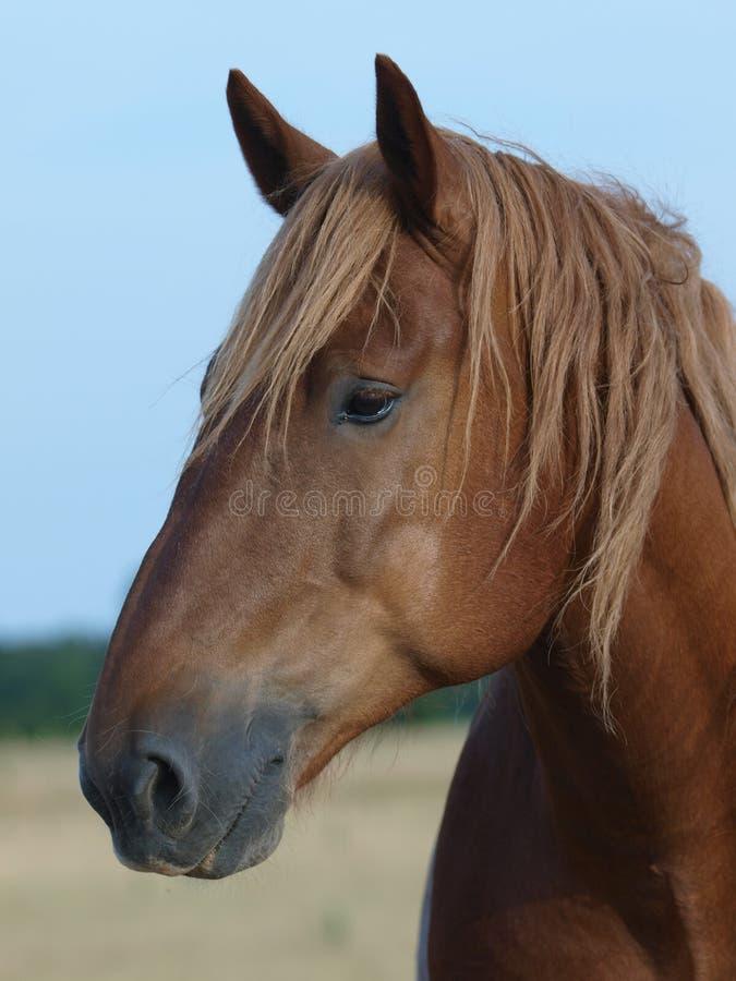 Horse Head Shot Royalty Free Stock Photography