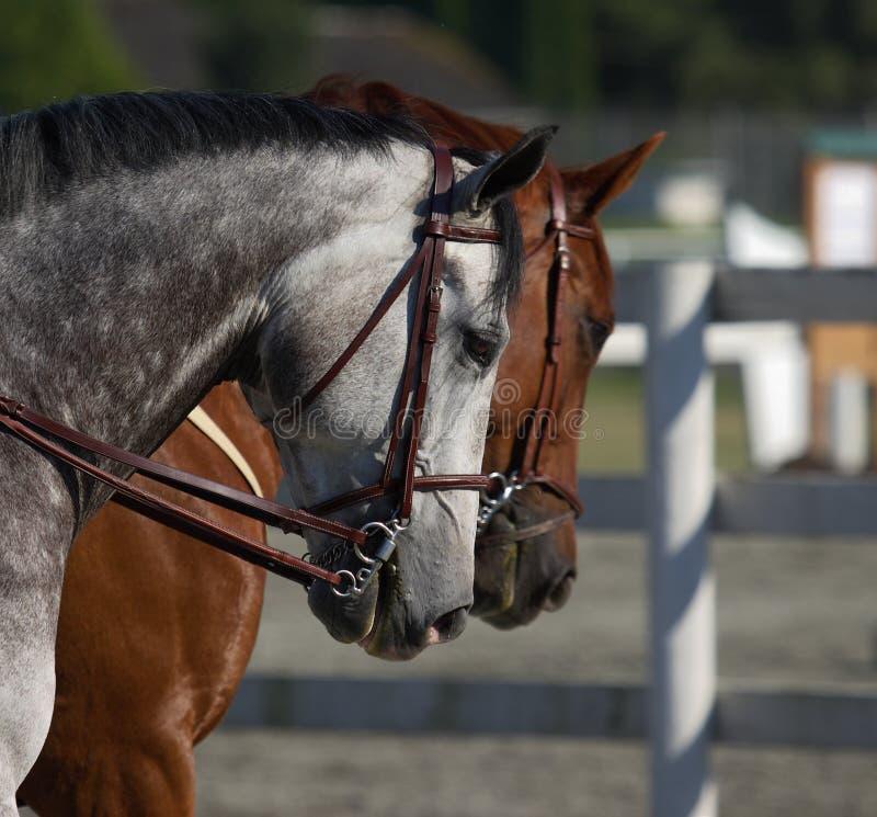 Horse head shots stock image