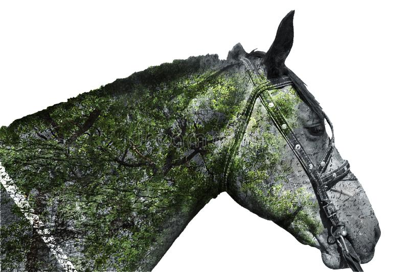 Horse head on white background . Double exposure. stock photography