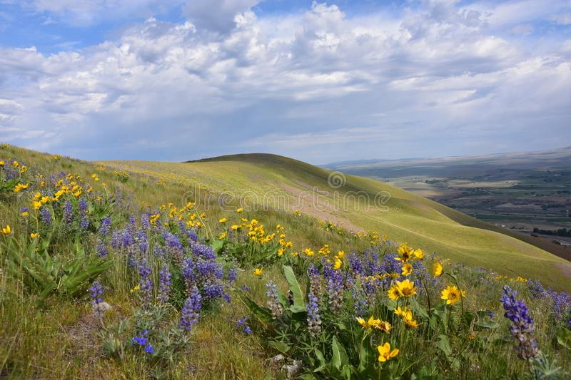 Horse Heaven Hills Botanical Bonanza: Lupine, Daisies, and Penstemon, Oh My!. Spring Beauties in the Columbia Basin, Yakima Valley, Eastern Washington near stock images