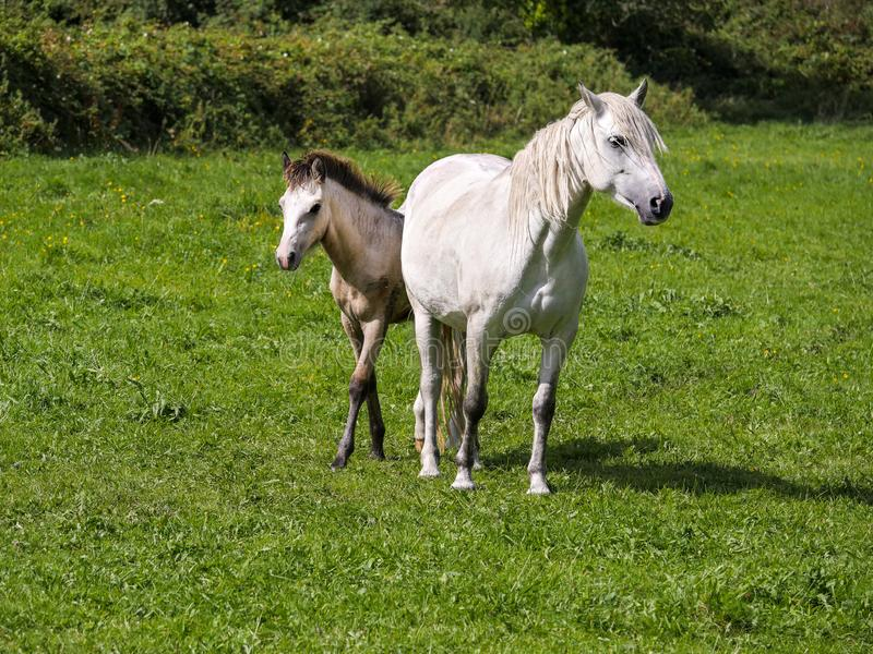 Horse and her foal in a green grass field. White gracious horse in a green grass field with it foal. Agriculture concept royalty free stock photos