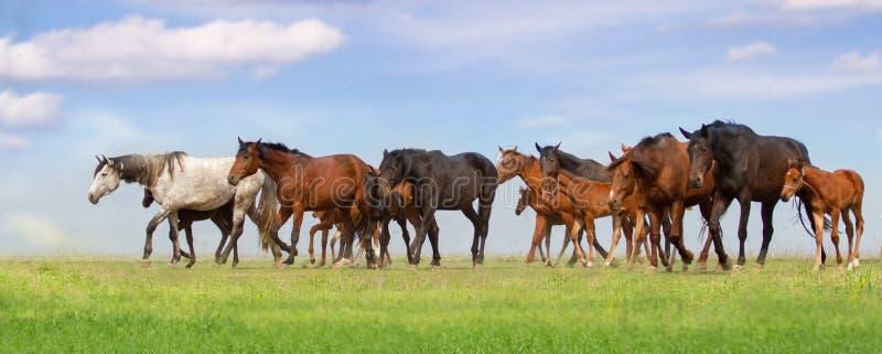 Horse herd on pasture stock photo