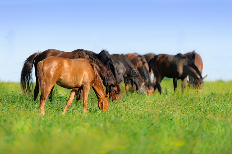 Horse herd grazing stock photography