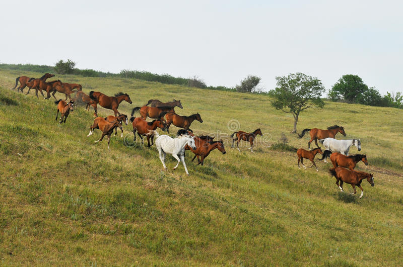Horse Herd on Hill royalty free stock image
