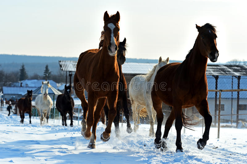 Horse. Herd of horses running on a snowy field royalty free stock images