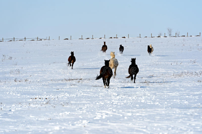 Horse. Herd of horses running on a snowy field stock image