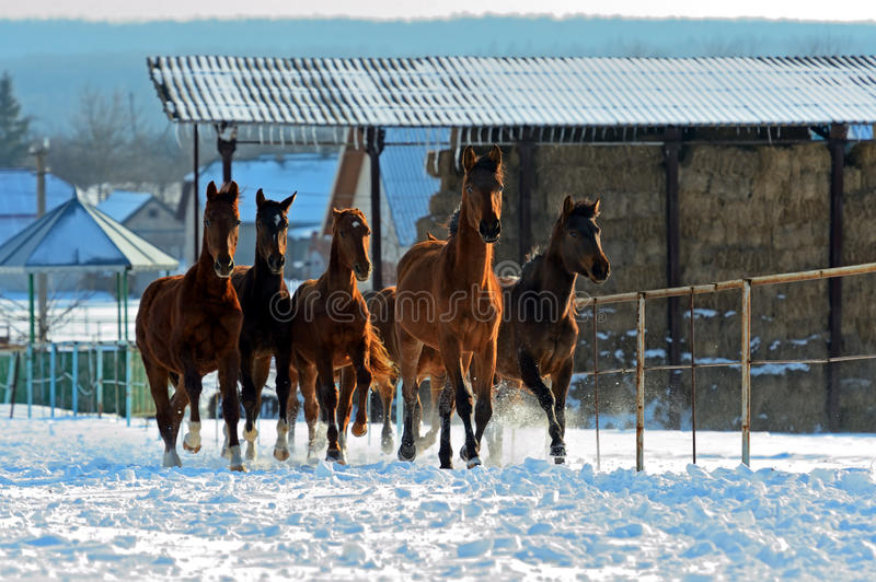 Horse. Herd of horses running on a snowy field royalty free stock photography
