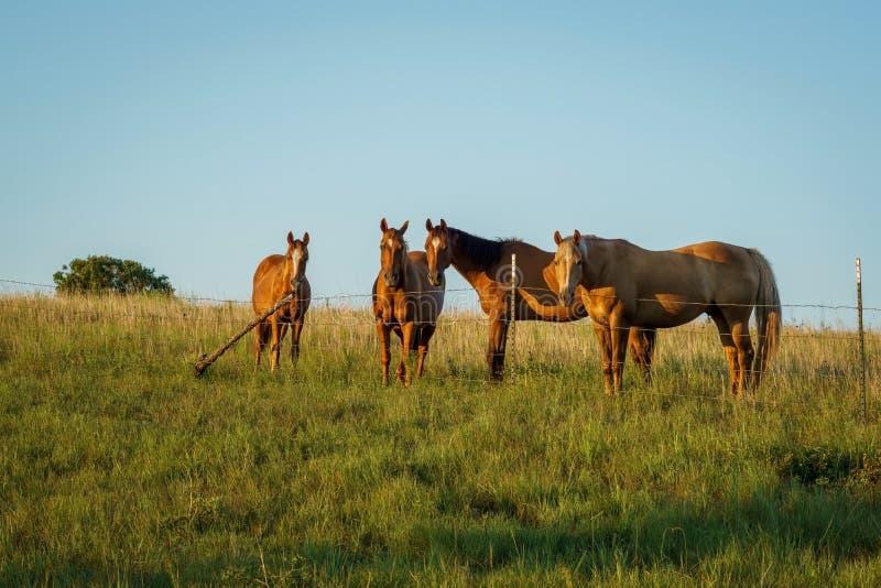 Horse herd stock photo. Image of herd, kansas, chestnut - 100525744