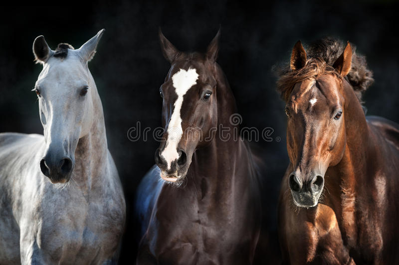 Horse herd portrait. In motion on dark background stock photography