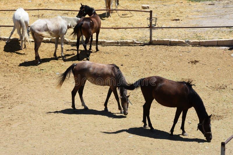 Horse herd run. Gallop, forward. Horse herd run in desert sand storm against dramatic sky stock images