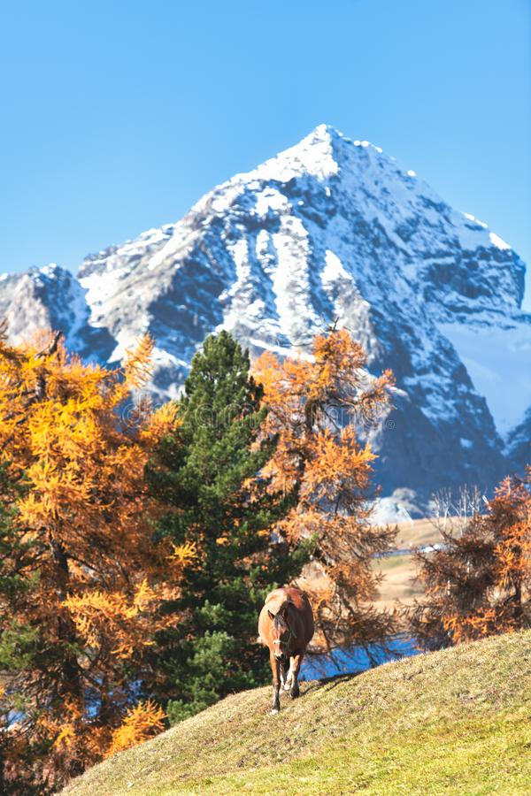 A horse in a high mountain autumn landscape on the Swiss Alps royalty free stock image